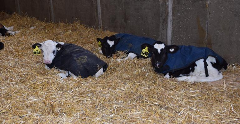 dairy calves resting