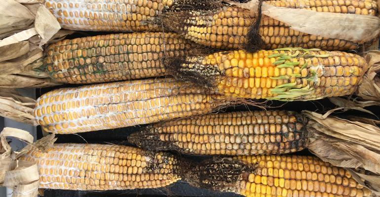 samples of contaminated corn