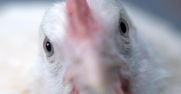 Roslin Mareks chicken23.jpg