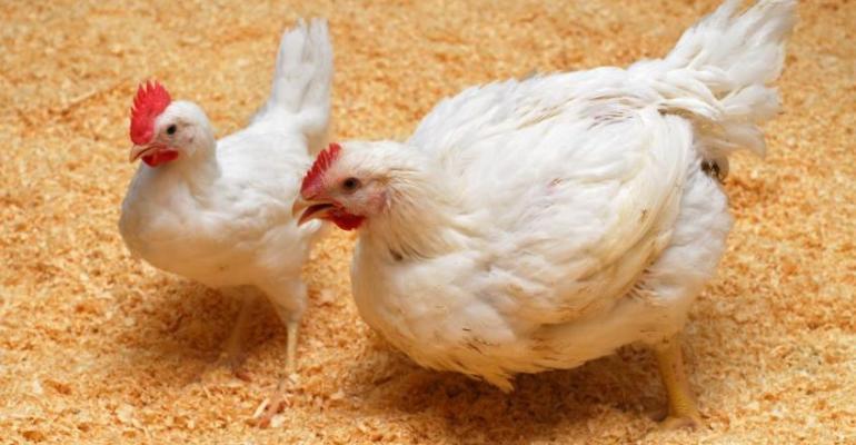 Roslin birdfluchickens-900x600.jpg