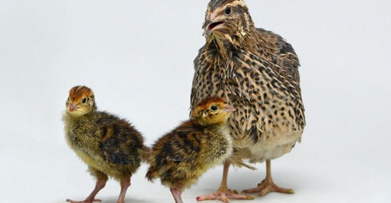 Roslin quail hunger.jpg