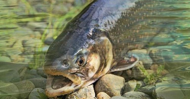 Roslin safer farmed fish.jpg