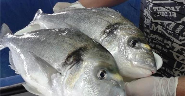 Sea bream at the Institute of Aquaculture Torre la Sal (IATS-CSIC)