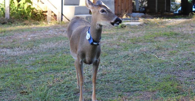 Key deer with radio collar