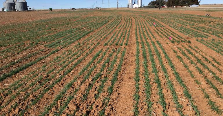 Barley trials near Dimmitt in February 2017.
