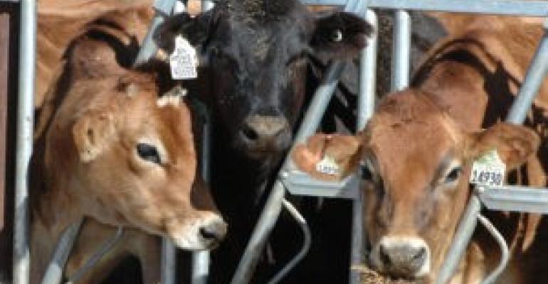 Beef calf between Jersey-influenced calves