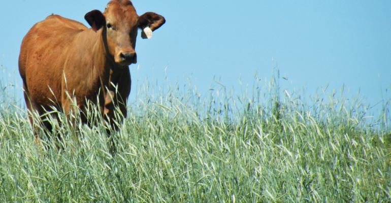 A cow grazes annual ryegrass in East Texas.