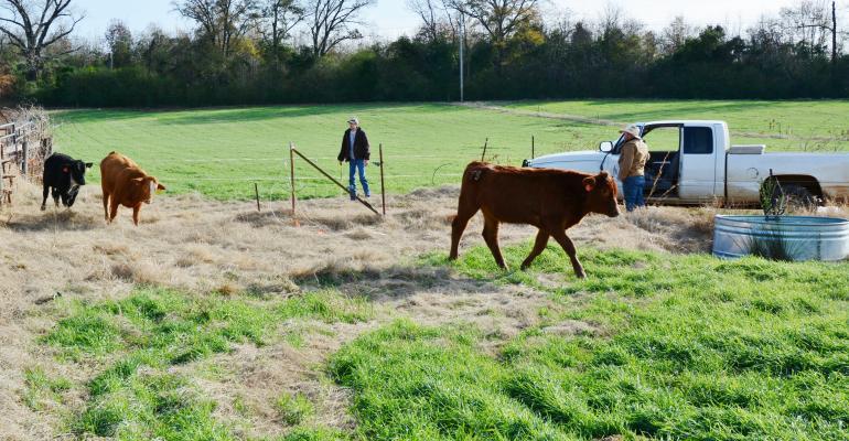 Stocker calves released onto pasture
