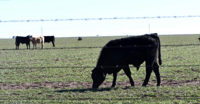 Texas AM cattle grazing wheat.jpg