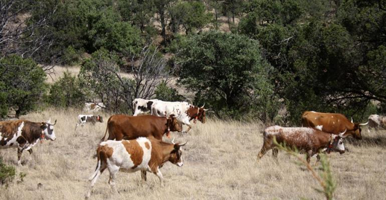 Texas AgriLife Criollo cows.jpg