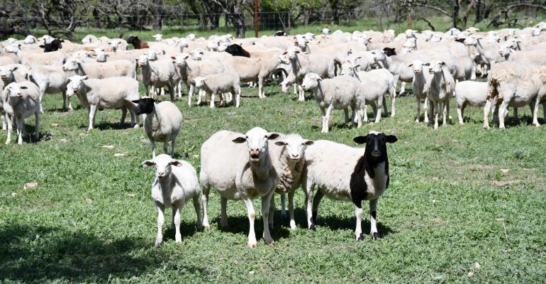 Texas AgriLife dorper4.jpg