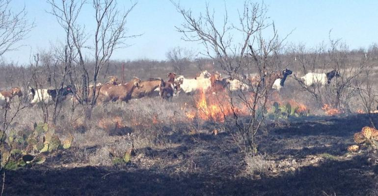 Texas AgriLife fire mixed animal grazing.jpg