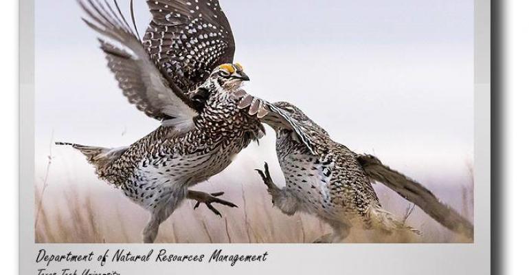 Texas Tech lesser prairie chickens.jpg