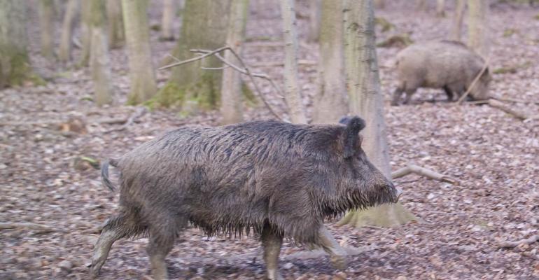 UFZ PM Bild1 Wildschweine_UFZ_Archiv.jpg