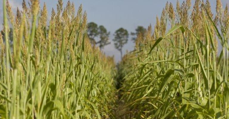 Field of sorghum