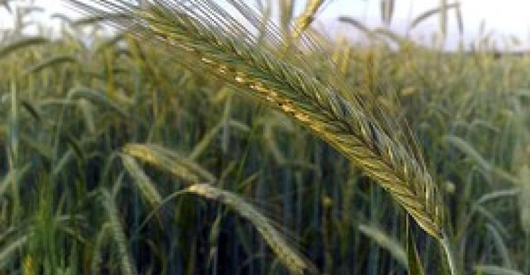 UIll hybrid rye.jpg