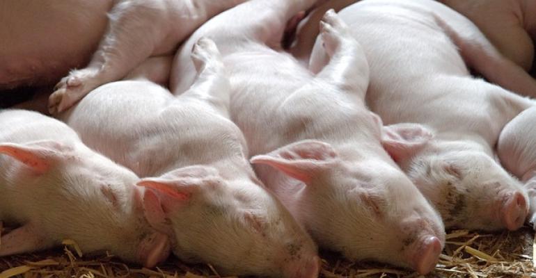 pile of sleeping nursery piglets