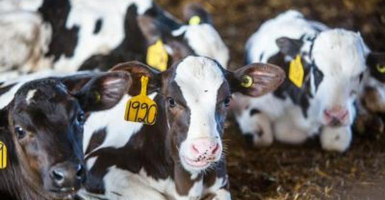 Dairy animals resting