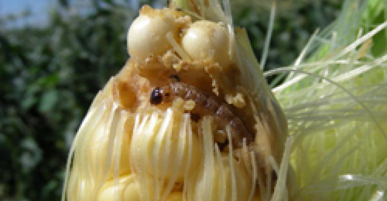 Corn borer on sweet corn