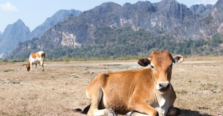 cow resting in dry grazinglands