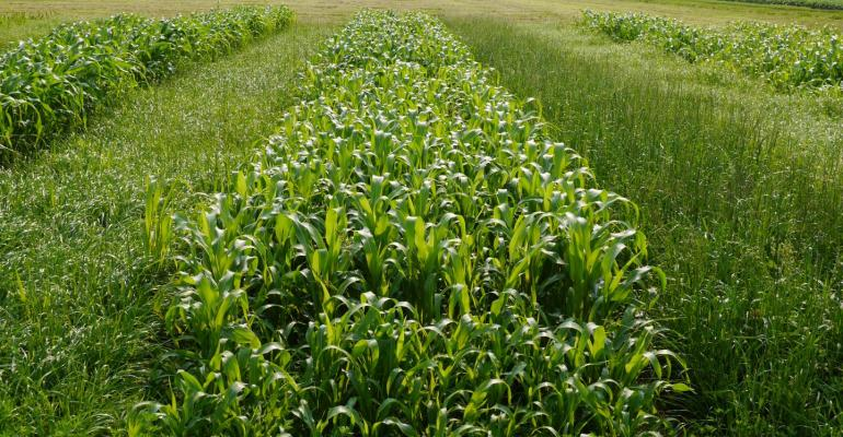 Plots of Italian ryegrass, sorghum-Sudangrass and annual ryegrass + red clover