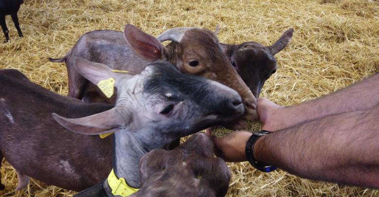 UPV orange goat feed.jpg
