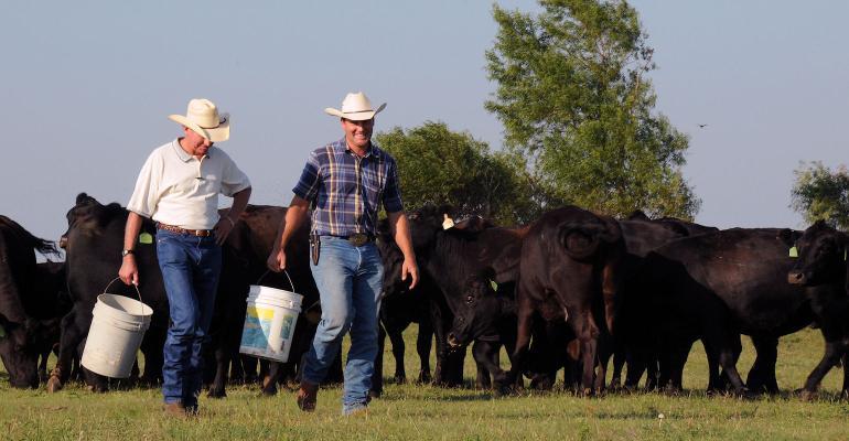 New young farmer Steve Burris feeds the Angus cattle on his farm.