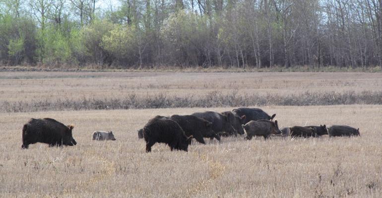 USask wild-pigs-1.jpg