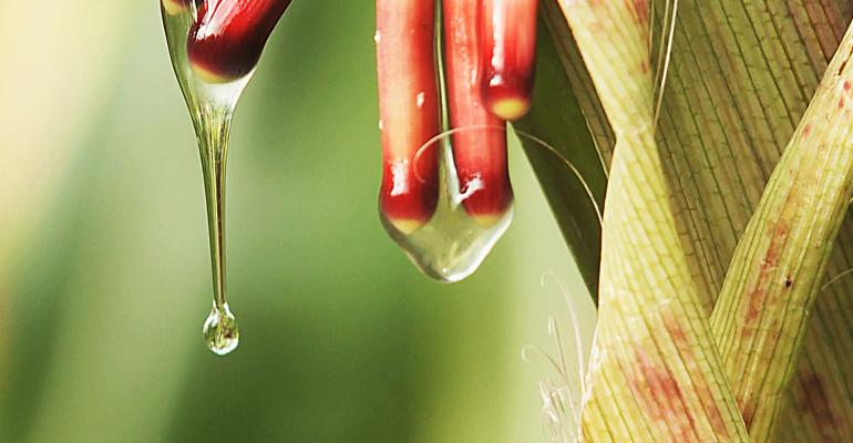The dripping gel harbors bacteria that convert atmospheric nitrogen into a form usable by the plant.