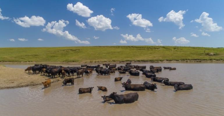 University of Nebraska cattle in pond.jpg