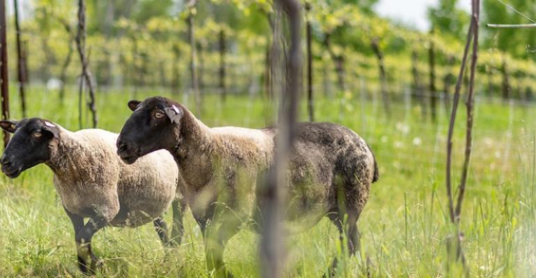 University of Vermont vineyard sheep.jpg