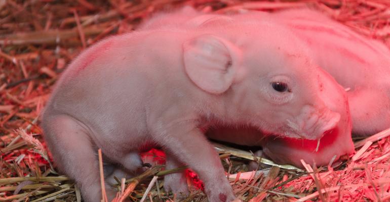 Newborn piglet with congenital tremor