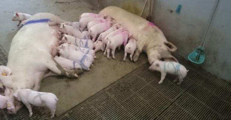 group farrowed sows nursing piglets