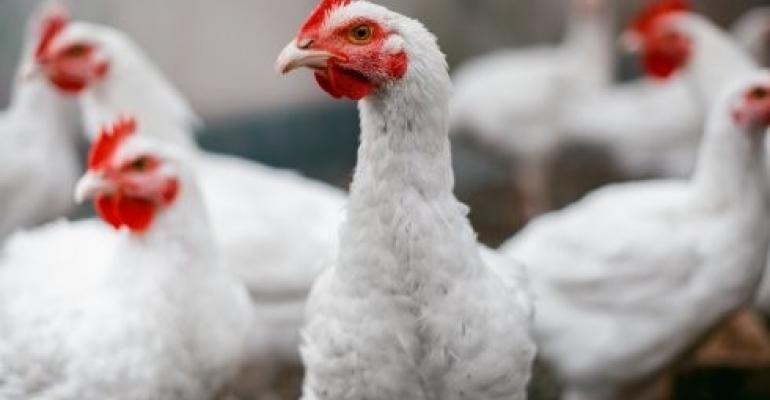 WUR cross chicken.jpg