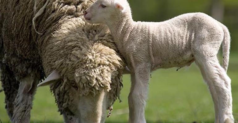 Western Sydney U merino sheep.jpg