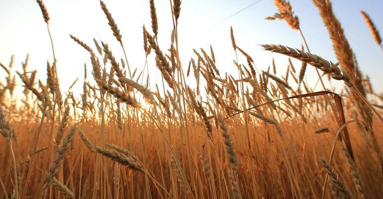 Wheat field at dawn