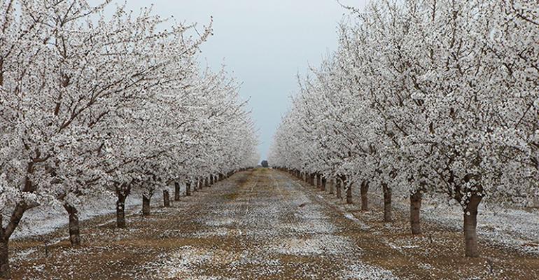 almond trees blossom