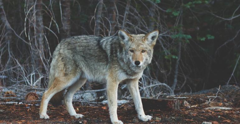 animal-wildlife-wild-fur-mammal-wolf-4572-pxhere.com_.jpg
