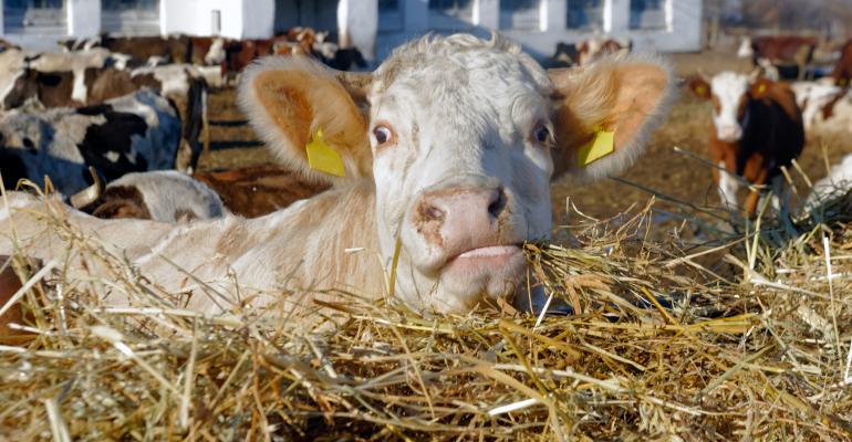 beef cattle - white cow eating hay_SergBob_iStock_Thinkstock-625057686.jpg