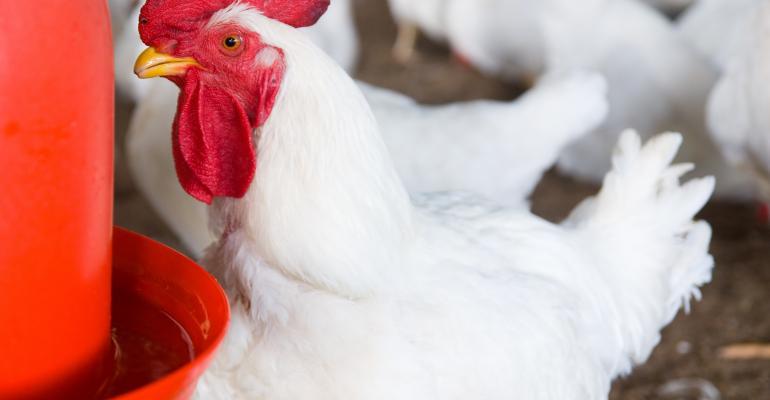 broiler chicken at waterer_sansubba_iStock_Getty Images-172868161.jpg