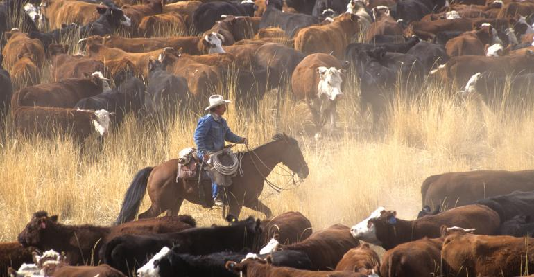 cattle drive in western U.S.