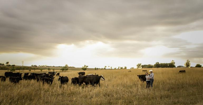 cattle on range