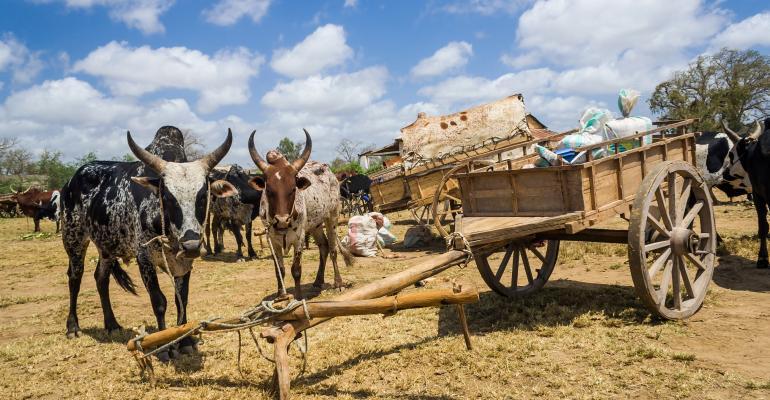 cattle-Zebus cattle_pierivb_iStock_Thinkstock-487360501.jpg