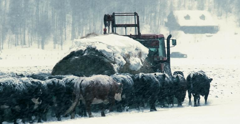 cattle snow