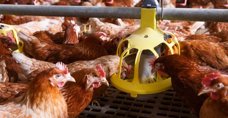 Red egg laying hens eating from feeder