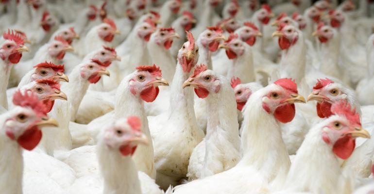 chickens_white broilers_buhanovskiy_iStock-468567374.jpg