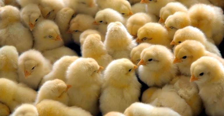 chicks in group-shutterstock_20539988.jpg
