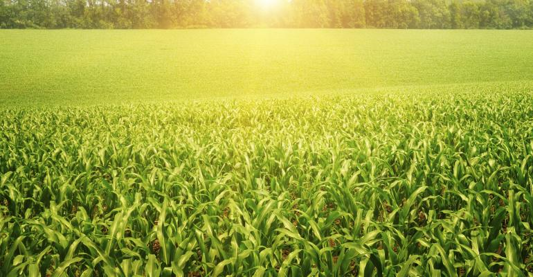 corn field sunny