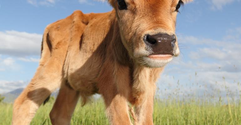 dairy calf-shutterstock_74603914.jpg