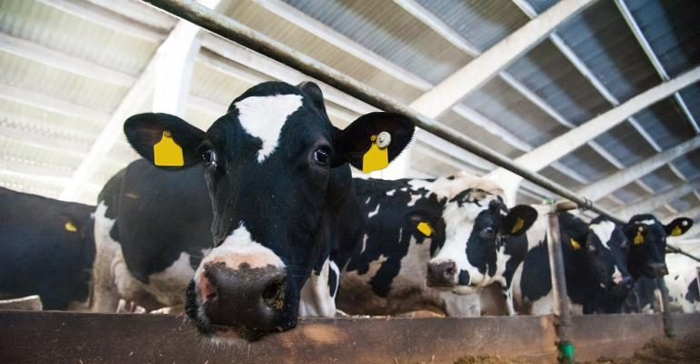 dairy cow peeking over feed bunk
